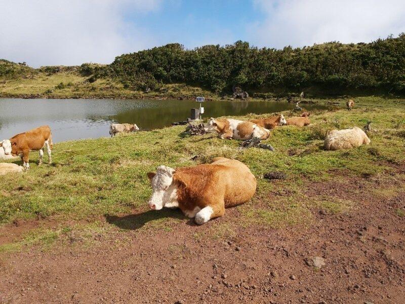 azzorre laghi con mucche