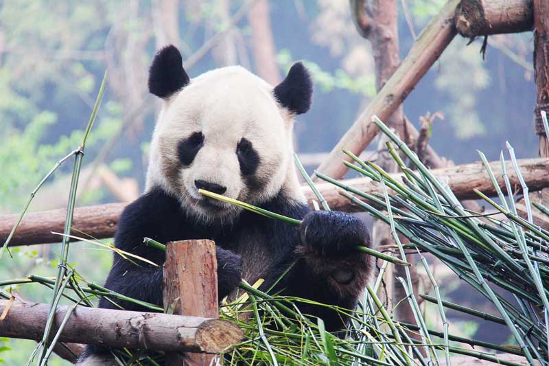 panda black-and-white