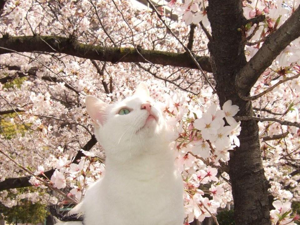 Roma – La fioritura dei Ciliegi Giapponesi all'Eur