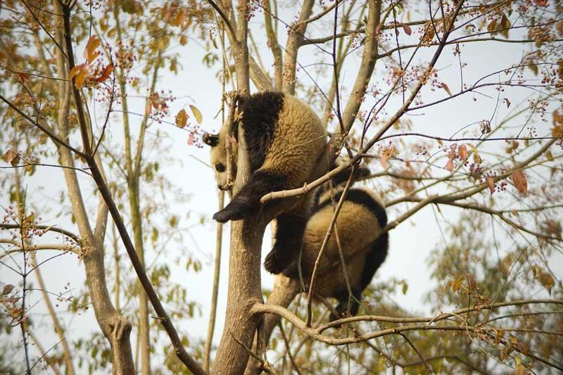 panda cina chengdu