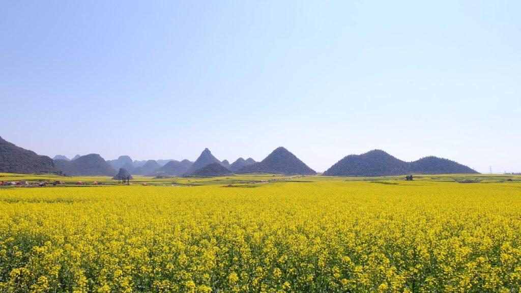 campi di colza cinesi